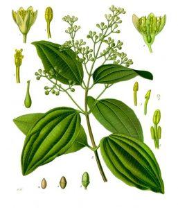 Una rama de canelo (Cinnamomum verum) en floración.